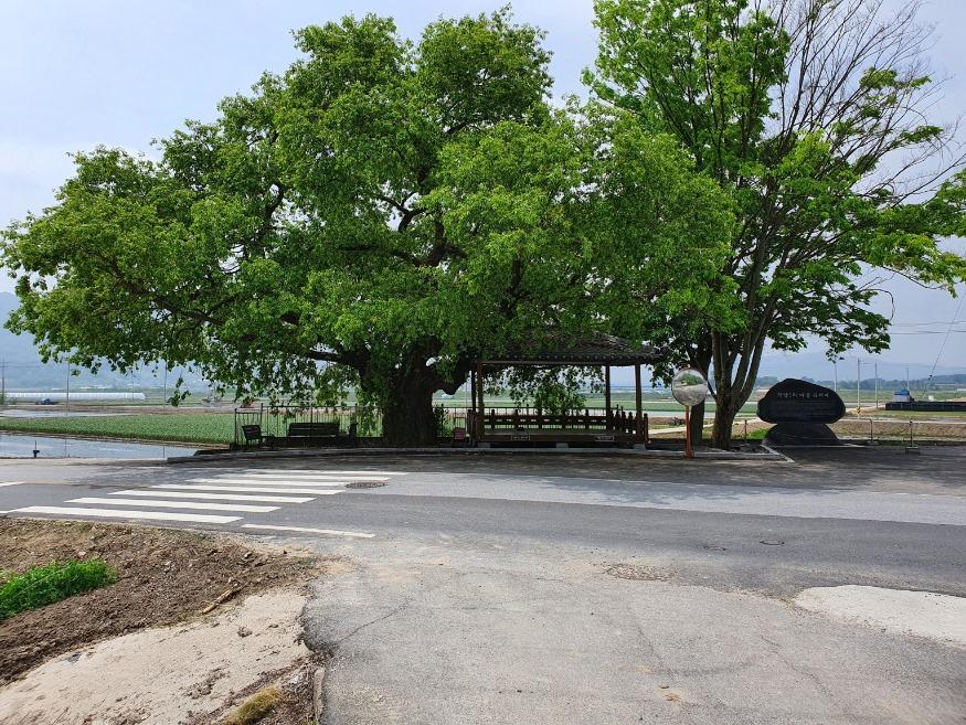 12.21-500년된 버드나무(5월).jpg
